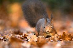 Eekhoorns houden geen winterslaap maar ze doen het tijdens koude winterdagen wel wat rustiger aan. Bij regen, sneeuw of storm kan de eekhoorn zelfs een paar dagen in zijn nest blijven. Zodra het beter weer is, gaat de hongerige eekhoorn op zoek naar z'n verstopte wintervoorraad. Fotograaf: Duijsens.