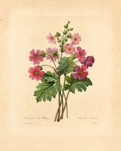 Red Chinese Primrose Flower Print, Vintage Botanical Wall Art, Redoute Flowers Book Plate No.