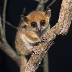 "Madame Berthe's Mouse Lemur - Microcebus berthae - This marmoset species belongs to the family Cheirogaleidae. It is the world's smallest primate, 3.6"" (92 mm) length and a weight of only 1.1 oz (30 g). It is found in Kirindy forest in western Madagascar. Kirindy forest is a part of Madagascar's dry deciduous forest ecosystem which is threatened"
