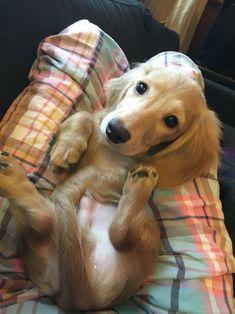 Charlie the mini dachshund