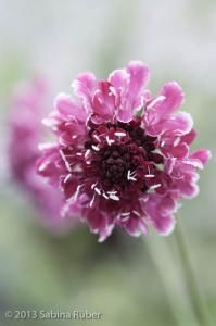 Scabiosa 'Beaujolais Bonnets' Seeds £2.85 from Chiltern Seeds - Chiltern Seeds Secure Online Seed Catalogue and Shop
