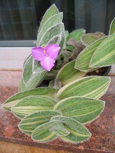 Tradescantia Sillamontana variegata