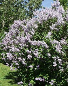 Syreenit  Pihasyreeni Perinteikäs, touko-kesäkuussa kukkiva syreeni. Lilansiniset, hurmaavasti tuoksuvat kukat. Sydämenmuotoiset, raikkaan vihreät lehdet. Tekee juurivesoja.