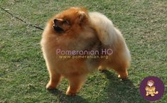 Are Pomeranians smart? how smart are Pomeranians as a dog breed in general compared to other breeds? Pomeranian intelligence level explained. Discover how smart a Pomeranian actually is and find out how to help your Pomeranian learn. #pomeranianhq #pomeranianheadquarters #pomeranianorg Pomeranian Dogs, Pomeranians, Dog Information, Dog Breeds, Training, Puppies, Tips, Animals, Cubs