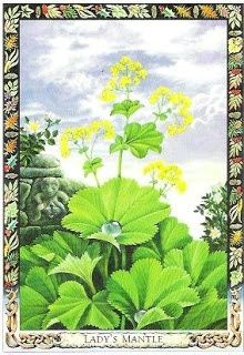 druid plant oracle cards | Lady's Mantle