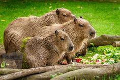 Wild Cat Species, Canadian Eskimo, Spider Species, Visit Brazil, Maned Wolf, Free Plants, Amazon Rainforest, Primates, Capybara