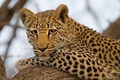Young Leopard by Henrik Nilsson
