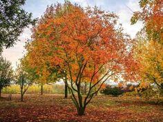 Blazenboom | Koelreuteria Paniculata | Sierbomen