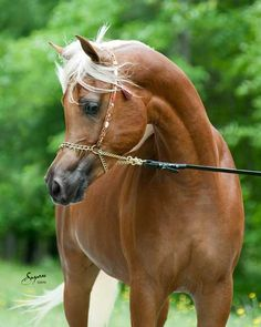 """(Thee Asil x The Evenning Star by Thee Desperado) """"The Exotic Beauty"""" Beautiful Horse Pictures, Beautiful Horses, Egyptian Arabian Horses, Jumping Horses, Arabian Beauty, Majestic Horse, He's Beautiful, Palomino, Horse Love"""