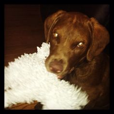 http://www.petcarevision.com/breed/Chesapeake_Bay_Retriever/about-chesapeake-bay-retriever