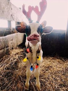 These 18 Funny Animals Will Cheer You Up – Rugged Traveller Cute Baby Cow, Baby Cows, Cute Cows, Baby Farm Animals, Cute Little Animals, Cute Funny Animals, Fluffy Cows, Tier Fotos, Cute Animal Pictures