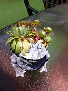 Hens And Chickens Succulents   Plants succulents and cactus / Froggie with Hens and Chicks