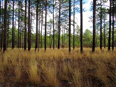 Weymouth Woods Sandhills Nature Preserve, NC part of the  State Parks System, is a 676-acre natural area located one mile southeast of Southern Pines in Moore County. Established in 1963 as the first nature preserve in the state parks system, the original 400 acres of Weymouth Woods were a gift to the state from Katharine Lamont Boyd, widow of the novelist James Boyd. Home to rare & endangered species such as the red-cockaded woodpecker, the pine barrens tree frog, & the bog spicebush.