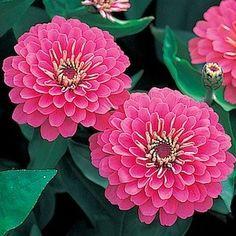 Dreamland Pink zinnia seeds - Garden Seeds - Annual Flower Seeds