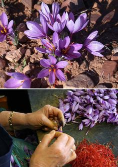 Saffron comes from exquisitely beautiful bright purple flowers. The saffron stems come out of the middle of the flowers that are just pulled out of the flower.