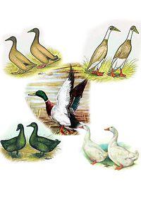 Duck, duck, duck....goose.