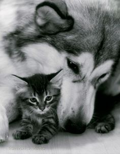 Reminds me of Chp and Kenai, although they never liked each other THAT much.  That's a good husky to snuggle with a kitty like that.  They've been known to have other plans for the kitties.