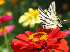 Zebra Swallowtails are one of the Many Butterflies that love to savor the sweet taste of Tall State Fair Zinnias- 5 Big Zinnia Flower Ideas Flowers For Butterflies, Beautiful Butterflies, Love Flowers, Beautiful Flowers, Butterfly Garden Plants, Milkweed Plant, Hummingbird Garden, White Gardens, Farm Gardens