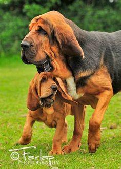 Truffe Medievale, bloedhond, bloedhonden, bloodhound, bloodhounds, blood hound, blood hounds, chien de saint hubert, chiens de saint hubert, bloedhonden club, bloedhondenclubs, fiacre truffe medievale, influence du noble limier, faucq, marianne, antwerpen, turnhout, mechelen, pup, puppy, puppie, puppies, puppy's, chiots, pups, Rashondenonline