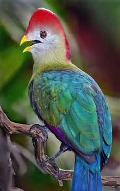 A Red-crested turaco