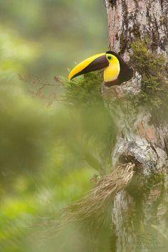 Soy nido de Tucán