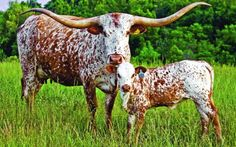 """""""The Texas Longhorn made more history than any other breed of cattle the civilized world has known. As an animal in the realm of natural history, ..."""