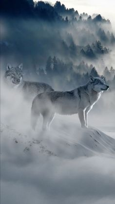 Wolf Images, Wolf Pictures, Wolf Photos, Beautiful Wolves, Most Beautiful Animals, Beautiful Creatures, Animals And Pets, Cute Animals, Timberwolf