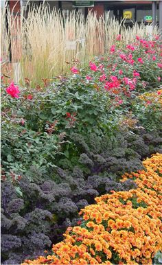 Layers of color in a Naperville, IL fall garden of kale, ornamental grass, rosees, mums.
