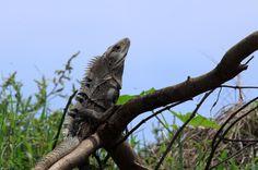 crocodile safari tour iguana   - Costa Rica