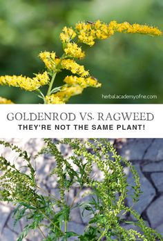 We were doing a quick Google search a while back, gathering information about goldenrod for an upcoming blog article. While we were searching we noticed that many images of goldenrod were incorrectly identified, featuring ragweed instead! Do you know the difference between the two plants? This is a common mistake, so we thought we'd clear up the confusion!