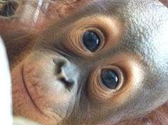 Look at those peepers! Beautiful baby Pelari. Photo by Laura Mayo.  #CutenessZooATL