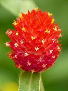 Red Gomphrena 'Strawberry Fields'