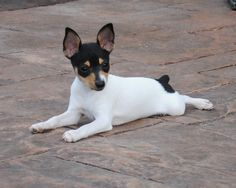Ok, so this is a Toy Fox Terrier puppy (I think).  They are born and bred AMERICAN dogs and are super tiny and super adorable!  They weigh 4-6 pounds fully grown and have very tiny legs (one of mine broke his leg twice!).  They are terriers, though so can be yappy and aggressive and suffer from small dog syndrome.  We had a wonderful male though, Sterling.  One of the best behaved dogs I have ever owned.  I sure miss the little guy!