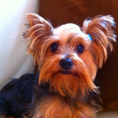 Whazzup? Yorkies, Cute Animals, Gucci, Dogs, Baby, Pretty Animals, Cutest Animals, Pet Dogs, Yorkshire Terriers