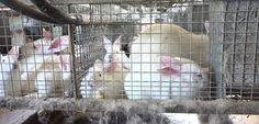 Intensively farmed does and bunnies webpage .jpg