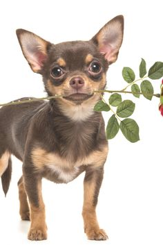 Brown Chihuahua, Teacup Chihuahua, Chihuahua Puppies, Cute Puppies, Cute Dogs, Cute Animal Pictures, Dog Pictures, Yorkshire Terrier, Valentines Day Dog