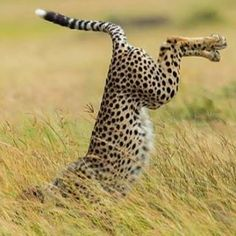 A cheetah diving for prey  Amazing Instagram Animal and wildlife Photos.  At https://peoplefinder.io we help you integrate Instagram and Pinterest so you can find and save instagram content for direct to your Pinterest boards.