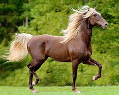Silver dapple Rocky Mountain Horse stallion. Do I want a horse...No Do I want this horse..Yes!