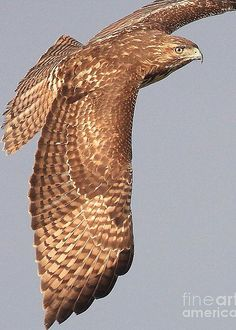 Wings of a Red Tailed Hawk.-- a juvenile, because the tail feathers are banded Most Beautiful Birds, Pretty Birds, Love Birds, Animals Beautiful, Birds Of Prey, Raptor Bird Of Prey, Flying Birds, Hawk Wings, Bird Wings