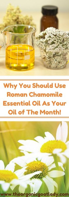 Have you ever had a cup of chamomile tea? Do you grow chamomile in your herb garden? If you like the herb then you are going to love the essential oil! *This post contains affiliate links* Why You Should Use Roman Chamomile as Your March Essential Oil of The Month! Today we are going to discuss the many benefits of roman chamomile essential oil! Scientific Name: First let's look at the scientific name for roman chamomile. It is: Chamaemelum nobile (Anthemis nobilis) Again, as we discussed