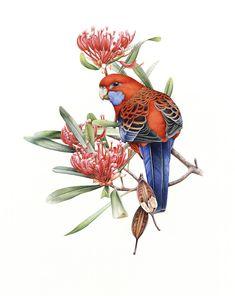 bird artwork DIY Inspiration is part of Bird Artwork For The Outdoors Better Homes Gardens - Crimson Rosellas and Waratah (Telopea truncata) ~ by Heidi Willis Birds Painting, Bird Watercolor Paintings, Botanical Drawings, Wildlife Artists, Wildlife Art, Bird Artwork, Art, Watercolor Bird, Bird Artists