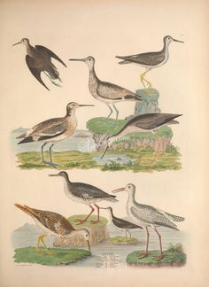 birds-09822 Solitary Tatler, Yellow-shank Tatler, Tell-tale Tatler, Semipalmated Tatler, Bartram's Tatler, Red-shank Tatler, Spotted Tatler, White Tatler ArtsCult.com Artscult ArtsCult vintage printable public domain 300 dpi commercial use 1800s 1700s 1900s Victorian Edwardian art clipart royalty free digital download picture collection pack paintings scan high qulity illustration old books pages supplies collage wall d