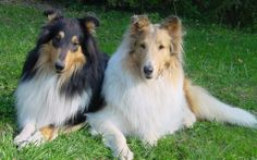 A Couple of Collies