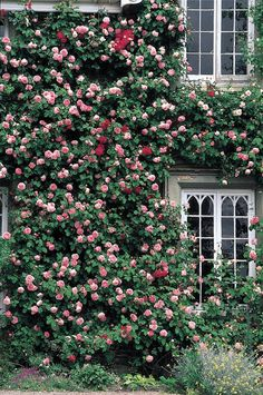 One of the best places to grow a climber is on a wall, particularly the walls of a house. Roses always look best when closest to where we live. The formality of architecture contrasts beautifully with the natural growth of the roses. A wall also has the effect of drawing roses to a much greater …