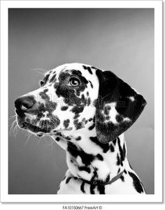 """""""Dalmatian Puppy isolated on a grey background, black and white"""" - Art Print from FreeArt.com"""