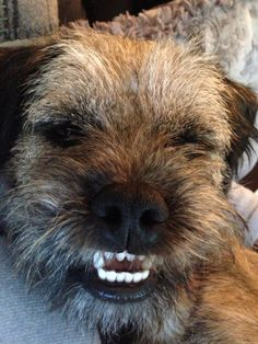 Fred the face. Border Terrier Puppy, Terrier Mix, Cute Boarders, Doggies, Dogs And Puppies, Four Legged, Dog Stuff, Dog Life, I Love Dogs