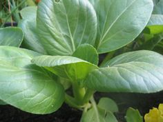 Tips for sustainability growing pak choi, bok choi, Chinese cabbage, tatsoi and kailon: position, soil preparation, feeding, controlling pests and companion plants.