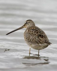 Long-billed Dowitcher (Limnodromus scolopaceus) is a medium-sized shorebird. Adults have yellowish legs and a long straight dark bill. The body is dark brown on top and reddish underneath with spotted throat and breast, bars on flanks. The tail has a black and white barred pattern. The winter plumage is largely grey. Their breeding habitat is wet tundra in the far north of North America and eastern Siberia. They nest on the ground, usually near water.