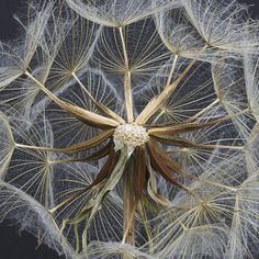 Dandelion - great perspective