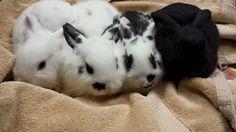 5 week old baby bunnies